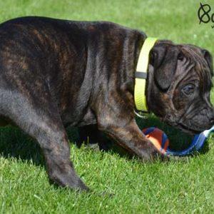 Stafordšírský bulteriér štěně výcvik